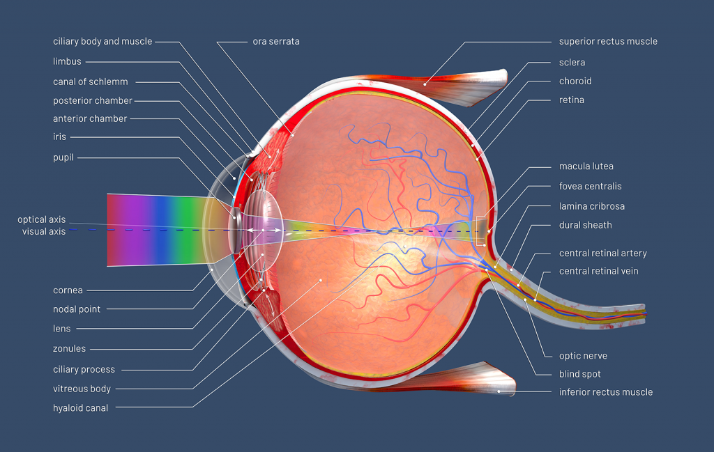 3D illustration of human eye structure with descriptions