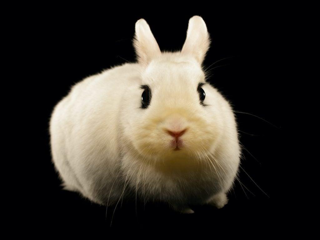 Dwarf hotot rabbits are small, white rabbits.