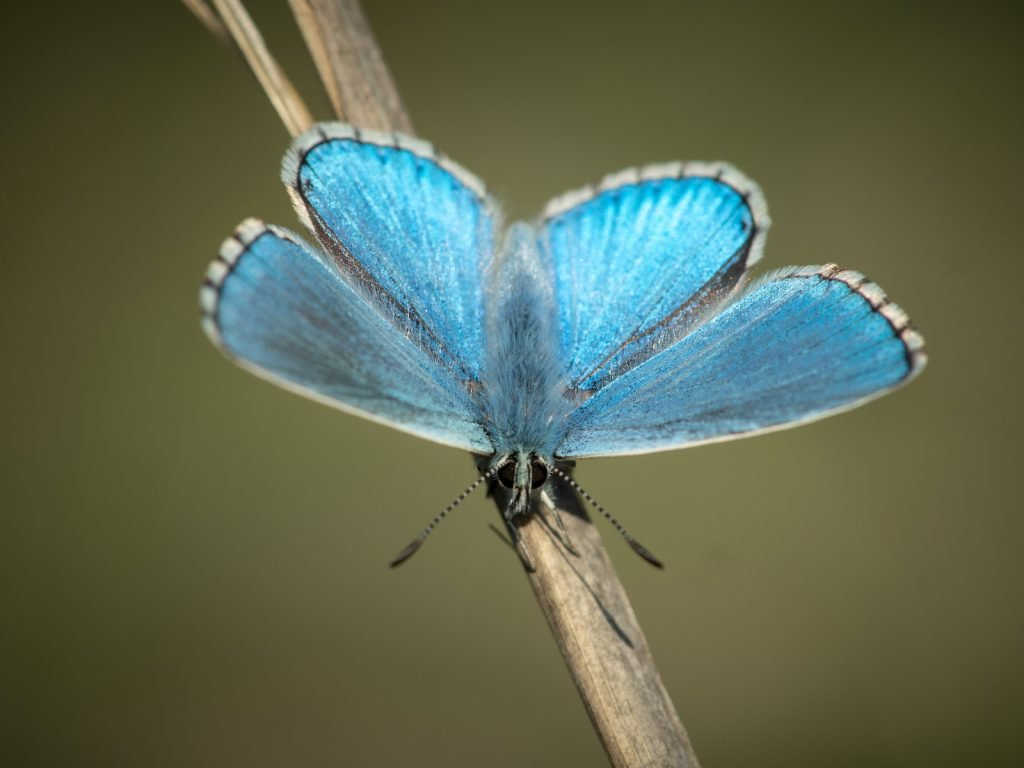 The Adonis blue is a paler color that's somewhere between sky blue and cornflower blue.