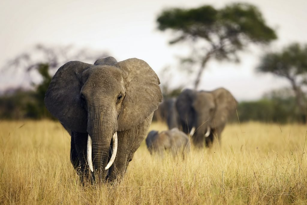The African elephant is now classified as an endangered species.