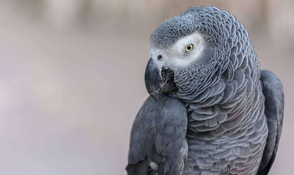 All parrots are generally intelligent creatures, but the African Gray is the most intelligent of the bunch.