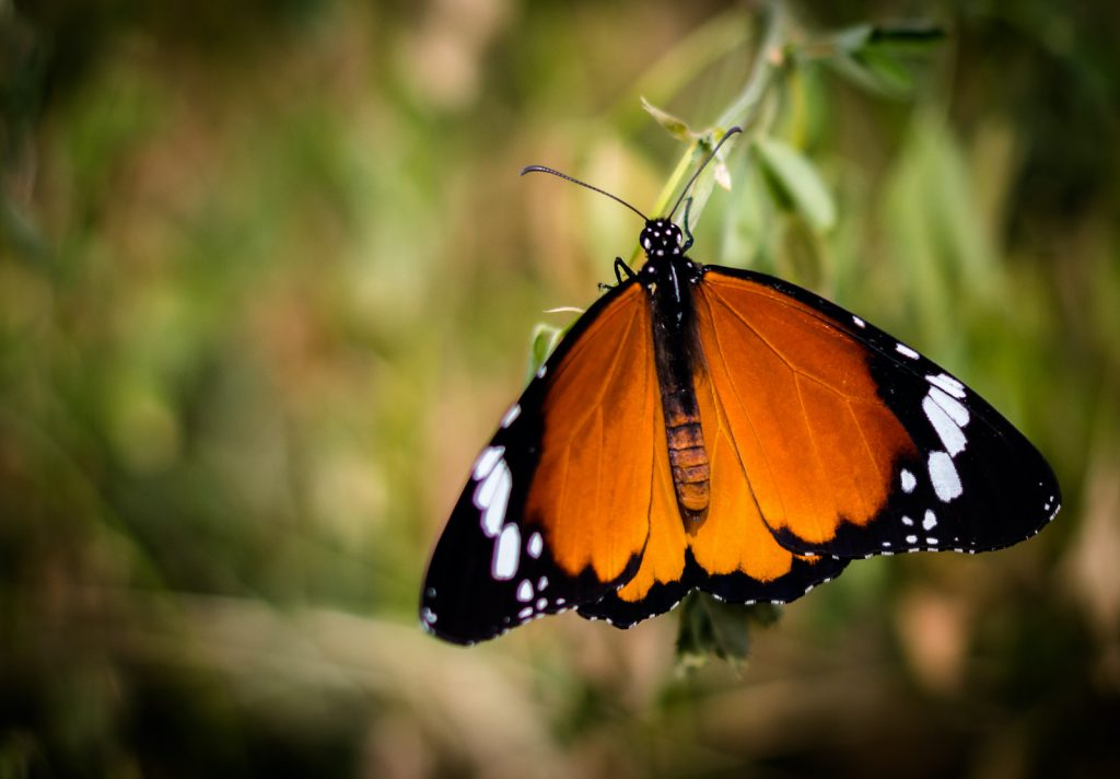 The African monarch has an interesting distinction; it's very likely to be the first butterfly ever depicted in art.