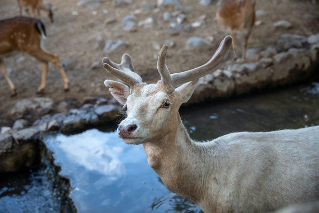 Albino deer are beautiful but rare.