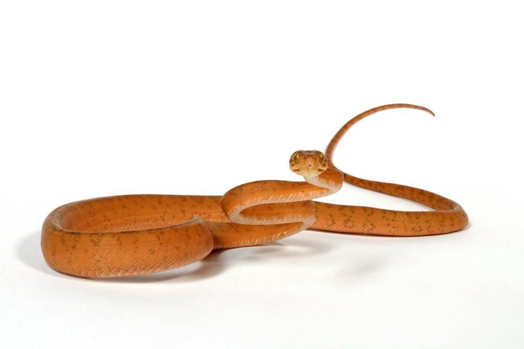Amazon tree boas are magnificent snakes, but they probably aren't the right choice for reptile keepers who want an affectionate pet.