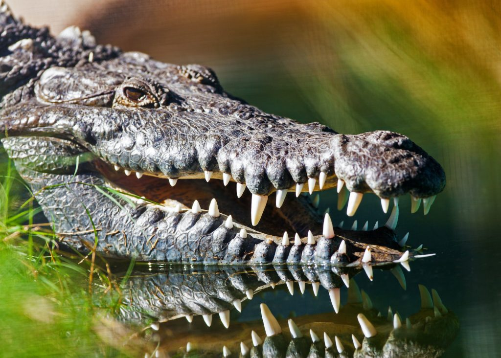 American crocodiles are especially common in Florida.