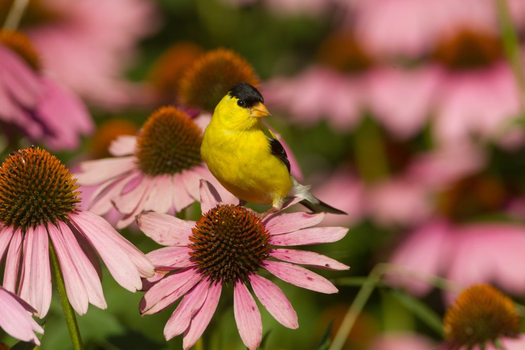 The American Goldfinch can be found in many places in the United States.
