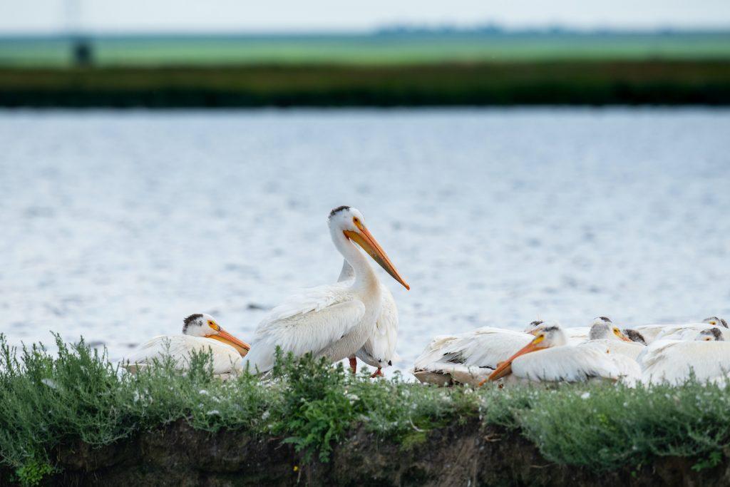 The American white pelican is a massive shorebird.