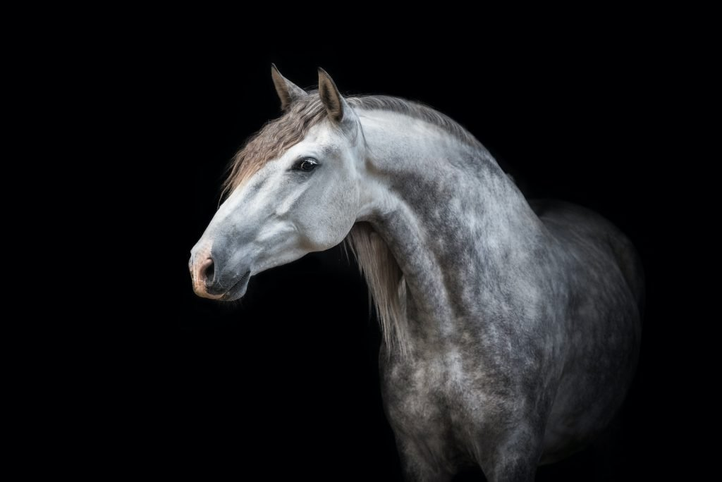 Andalusian Horses are especially popular as dressage horses.