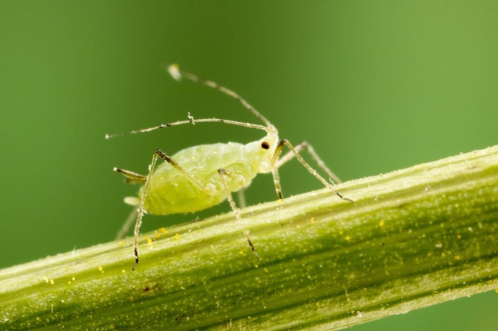 Closeup of Aphid feeding on plant