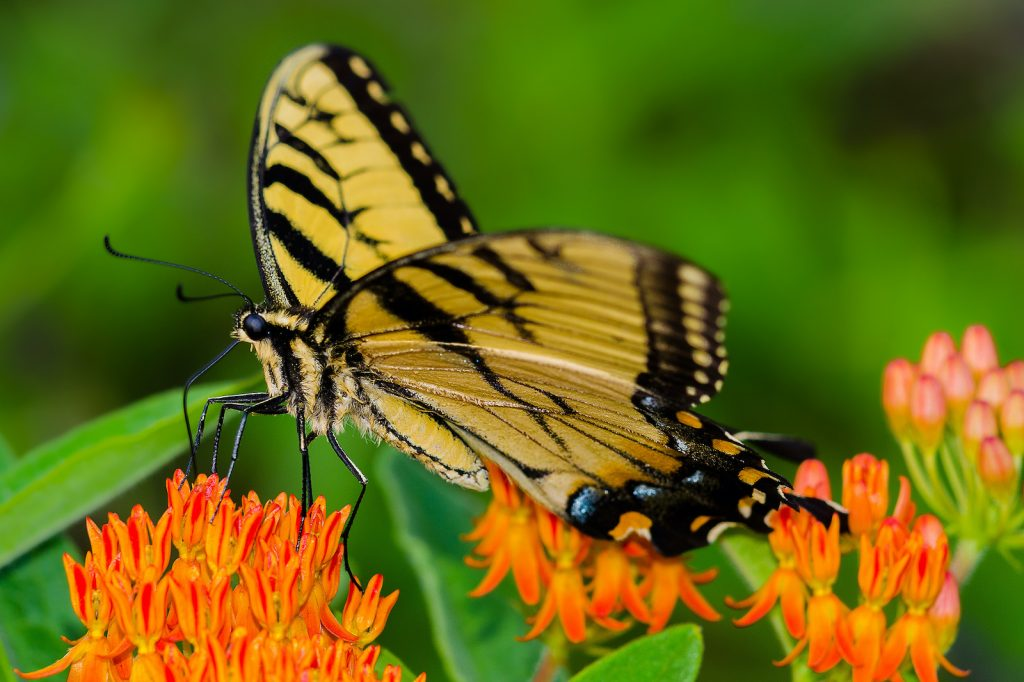 To the uninitiated, the Appalachian tiger swallowtail may look a lot like the eastern tiger swallowtail and similar species.