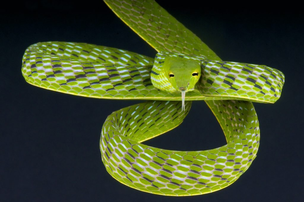Asian vine snakes are common in the wild in southern Asia.