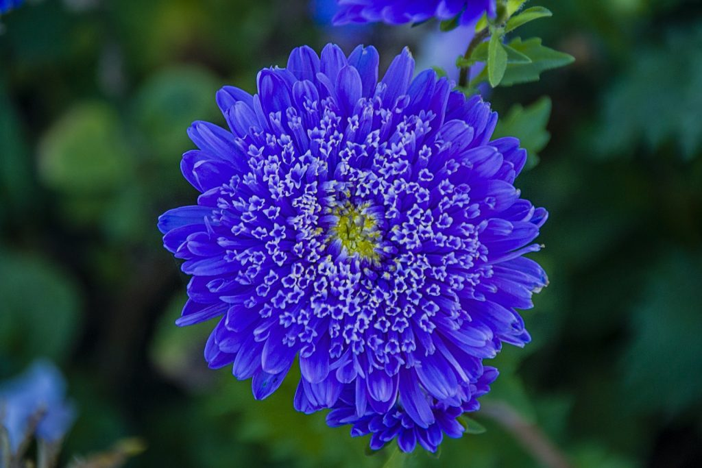 Aster can add a bold color splash to any garden.