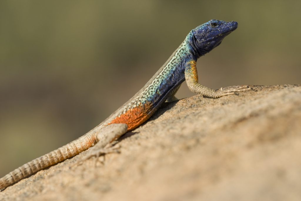 The Augrabies Flat Lizard often catches its insect prey while it is in mid-flight.
