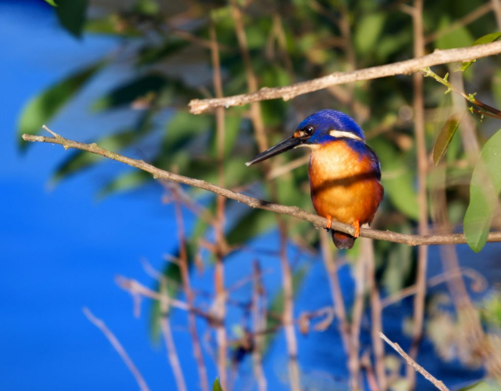 The azure kingfisher rarely makes any sound at all.