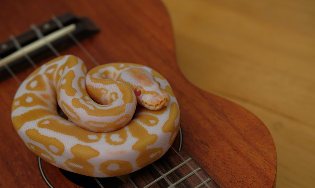 The ball python gets its name from the fact that it tends to curl up into a ball when under stress.