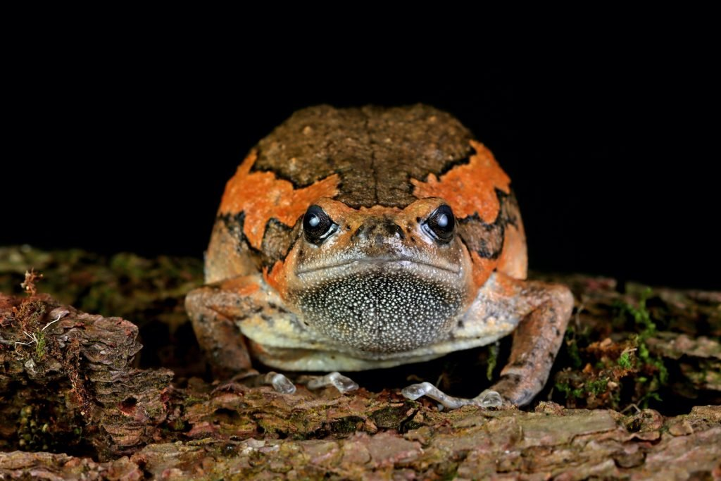 The Banded Bullfrog has a dark greenish-brown body, but they also have two broad stripes that are often a source of impressive color.
