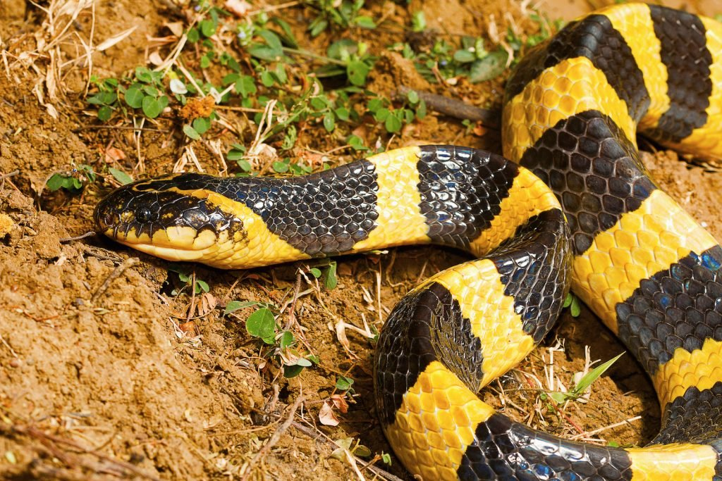 The banded krait is one of the brightest large snakes on the list.