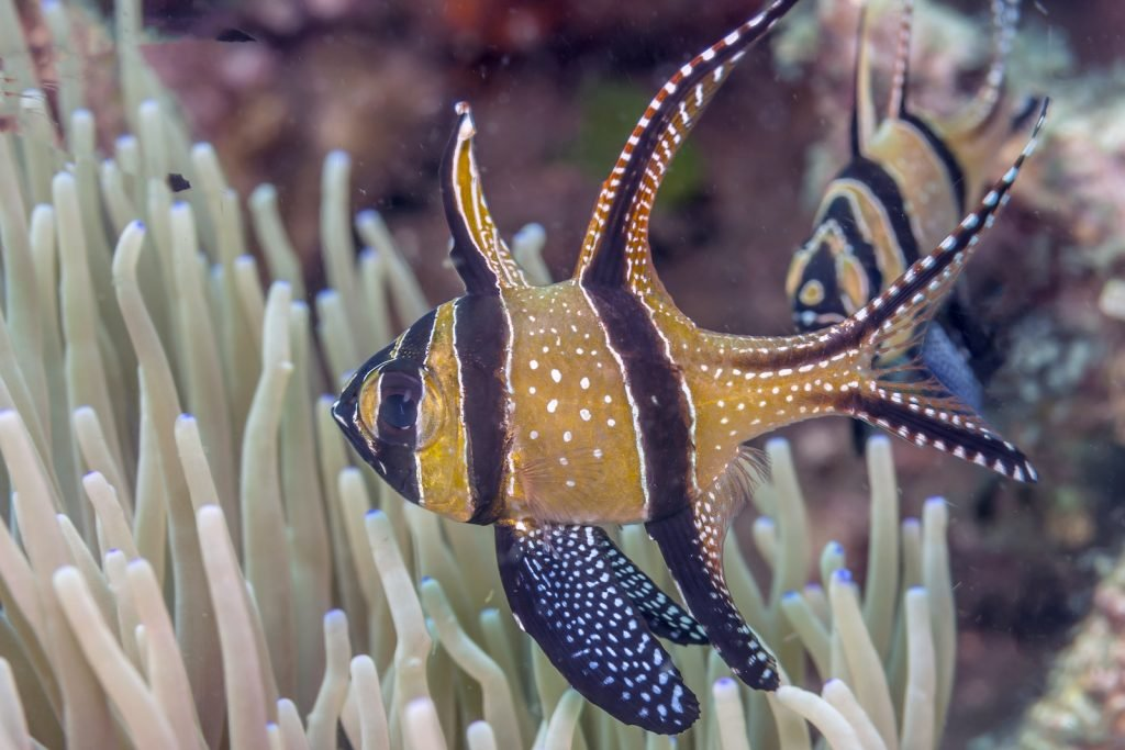 In the wild, though, the Banggai cardinalfish has a limited range.