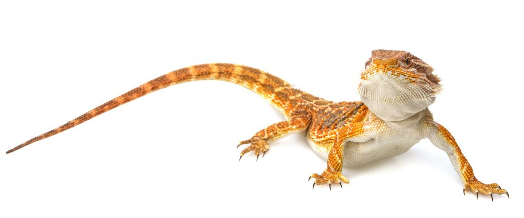Though thePogonagenus includes several species of bearded dragons, Pogona vitticeps (the central bearded dragon) is the friendliest