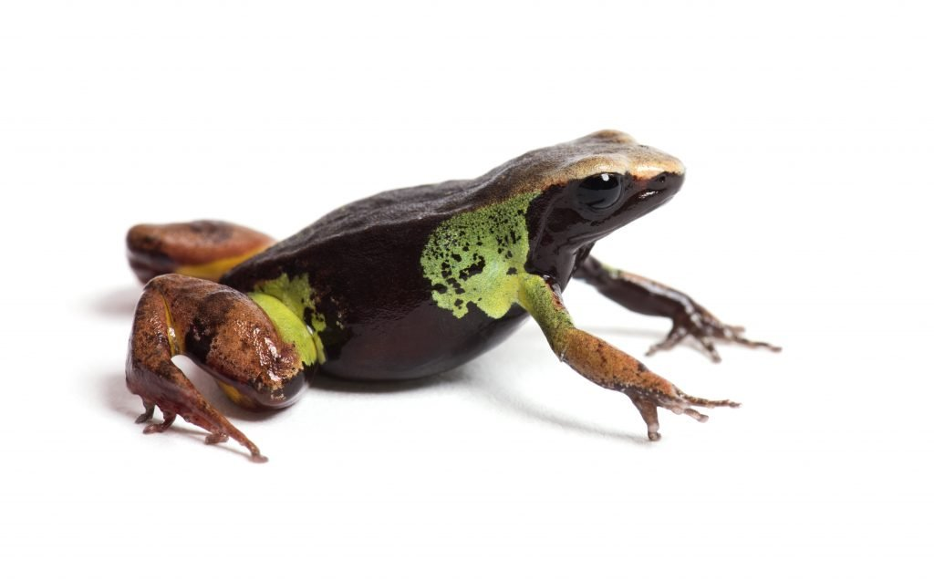 The beautiful mantella is an especially striking frog species found in Madagascar.