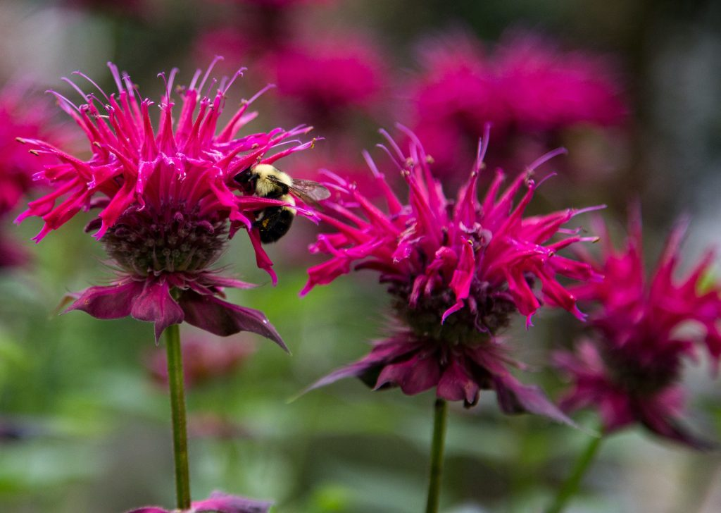 True to its name, bee balm is a flower that provides an excellent food source for bees.
