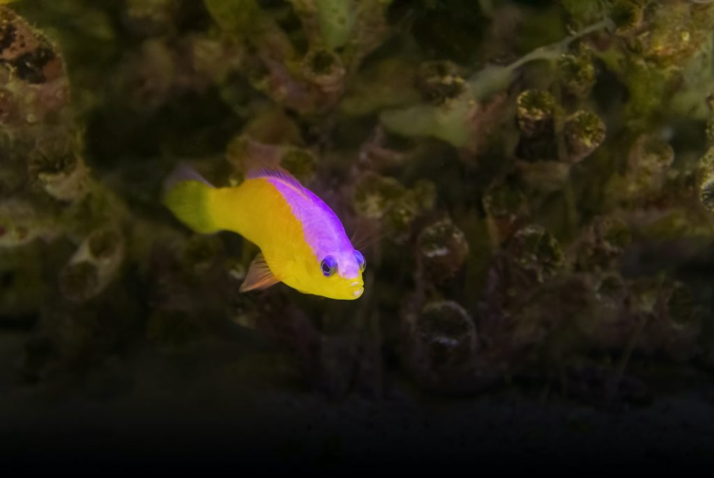 Bicolor Dottyback can add some real color to your aquarium.