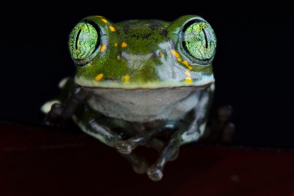 Big-eyed tree frog males have two distinct calls; one is for keeping other males away, while the other is for attracting females.
