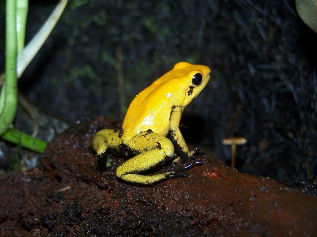 The black-legged poison frog is among the most toxic of the frog species