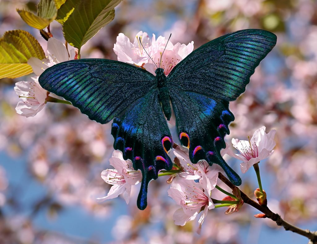The Black Swallowtail includes some of the world's most colorful butterflies.