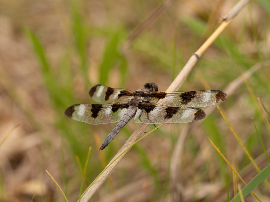 Black and white colored dragonfly