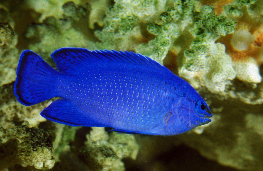 Blue Damselfish are a brilliant cerulean blue in color.