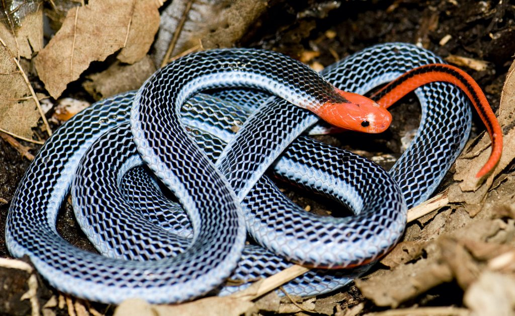 The Blue Malayan Coral Snake is a highly venomous snake.