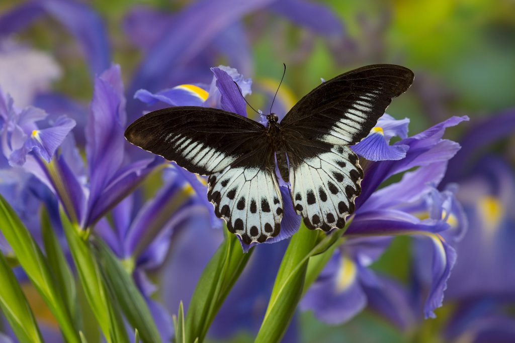 Blue Mormons are large and exotic-looking butterflies.