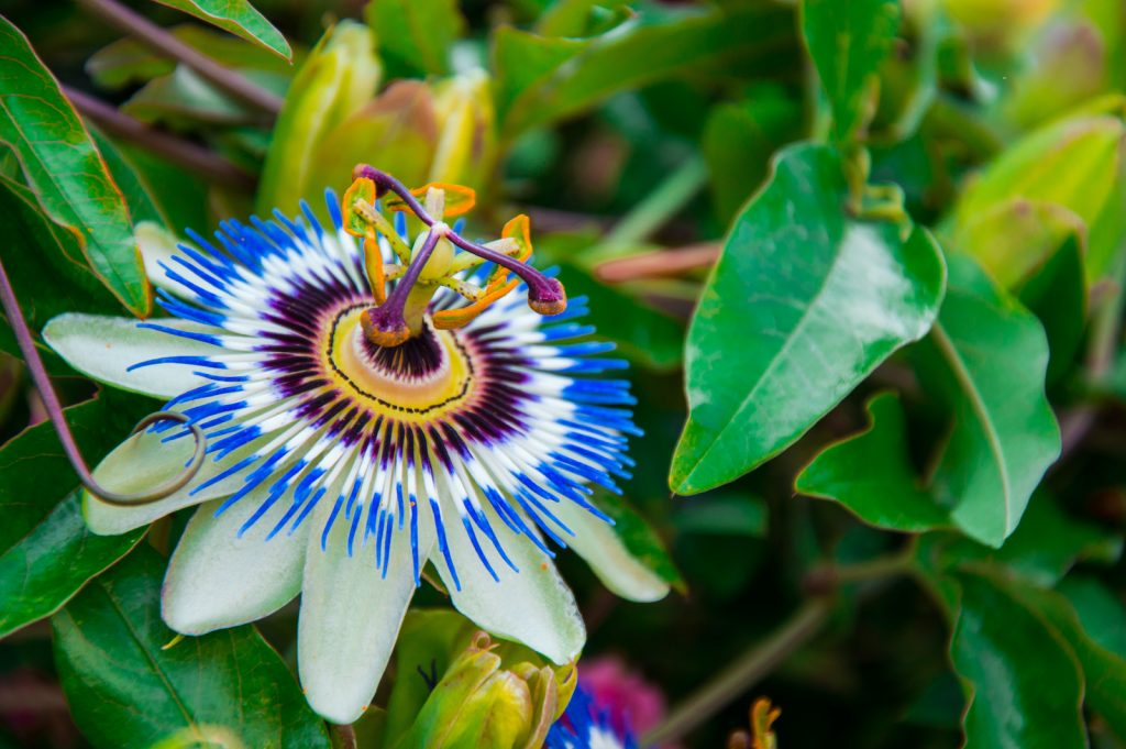 Blue Passion Flower grows on a vine.