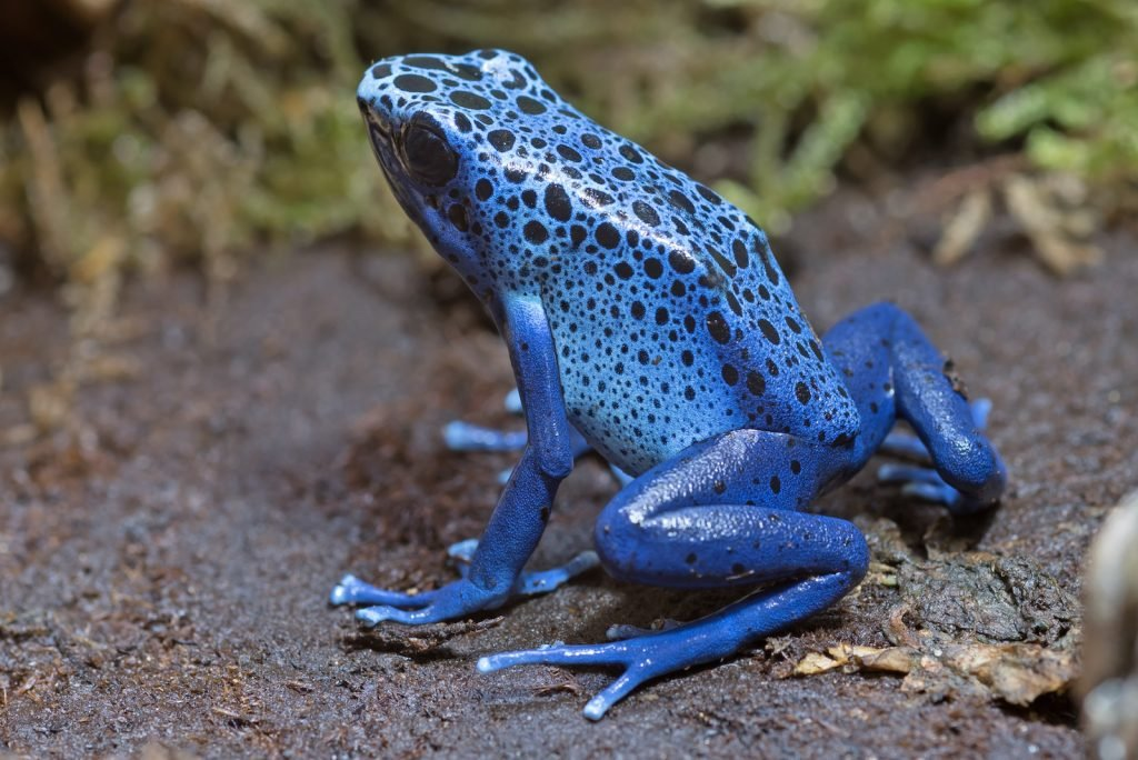 The Blue Poison Dart Frog is a morph of the dying poison dart frog.