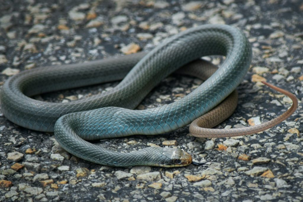 Though blue racers are fairly adaptable in terms of habitat, they do have their limits.