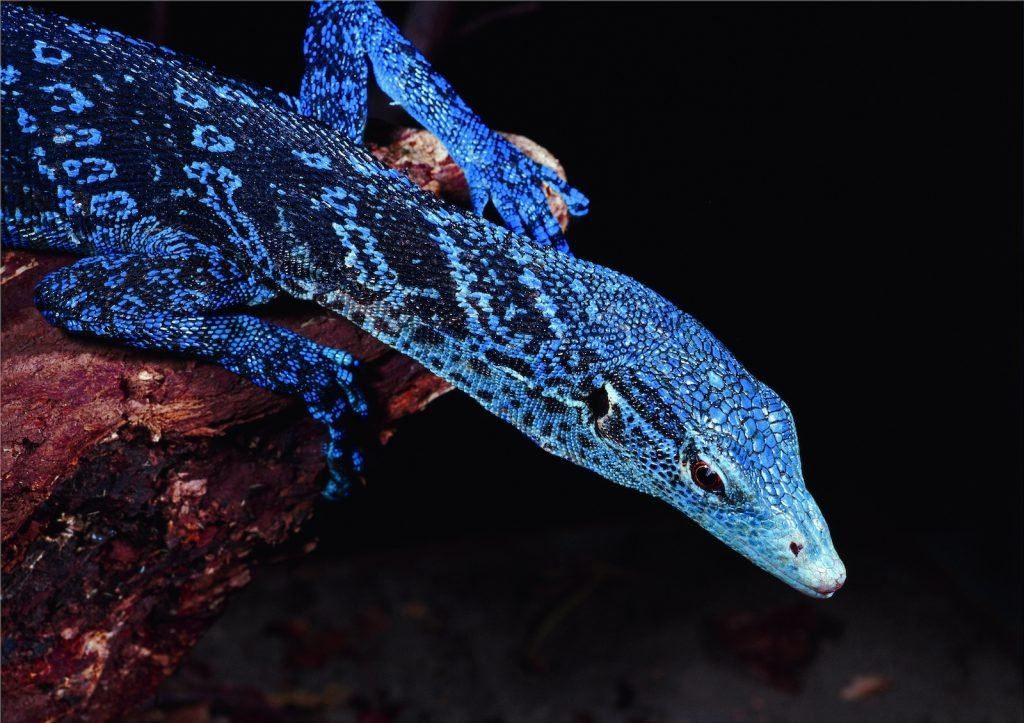 The Blue-Spotted Tree Monitor are some of the brightest in the monitor family.