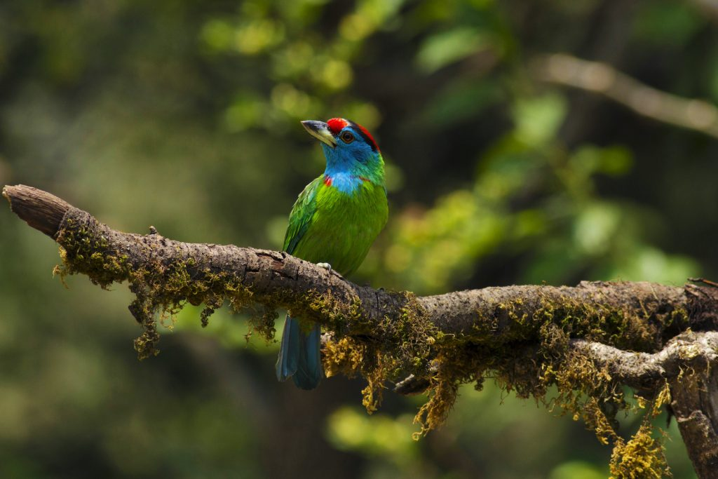 The blue-throated barbet's magical colors make it a sought-after bird for casual and serious birders alike.