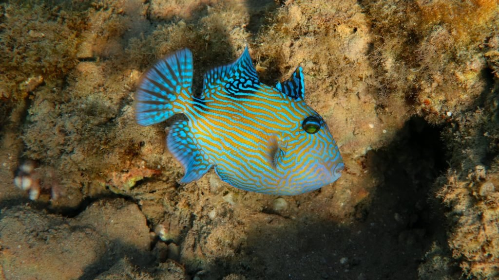 Blue Triggerfish have one of the most intricate patterns on the list.