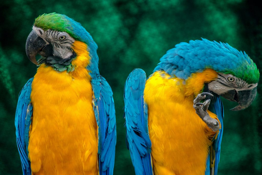 Macaws are some of the most spectacularly colored birds on Earth, and the blue-and-yellow macaw is a famous example.