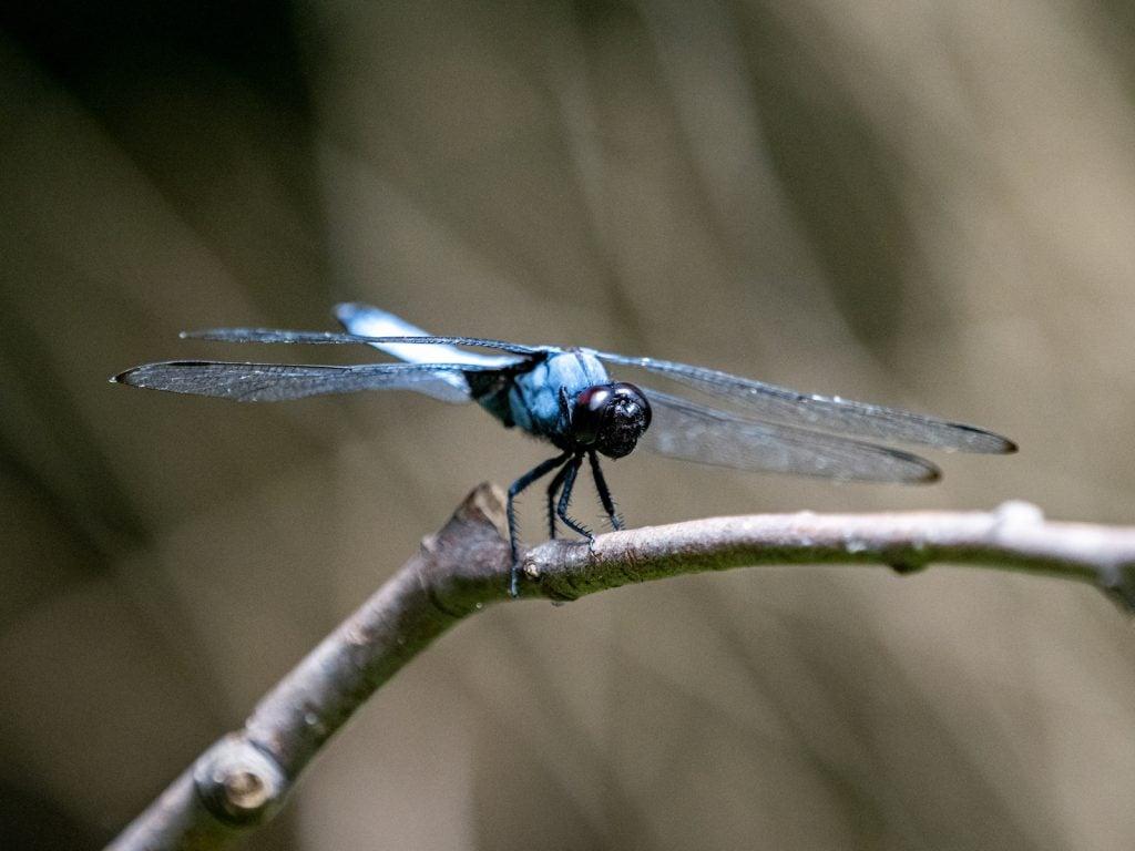 Blue dragonfly sitting on branch