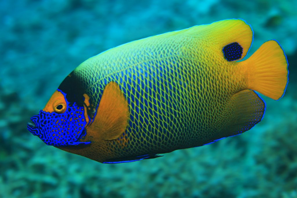 The Blueface Angelfish makes its home along coral reefs, and it is rarely seen as an aquarium fish.