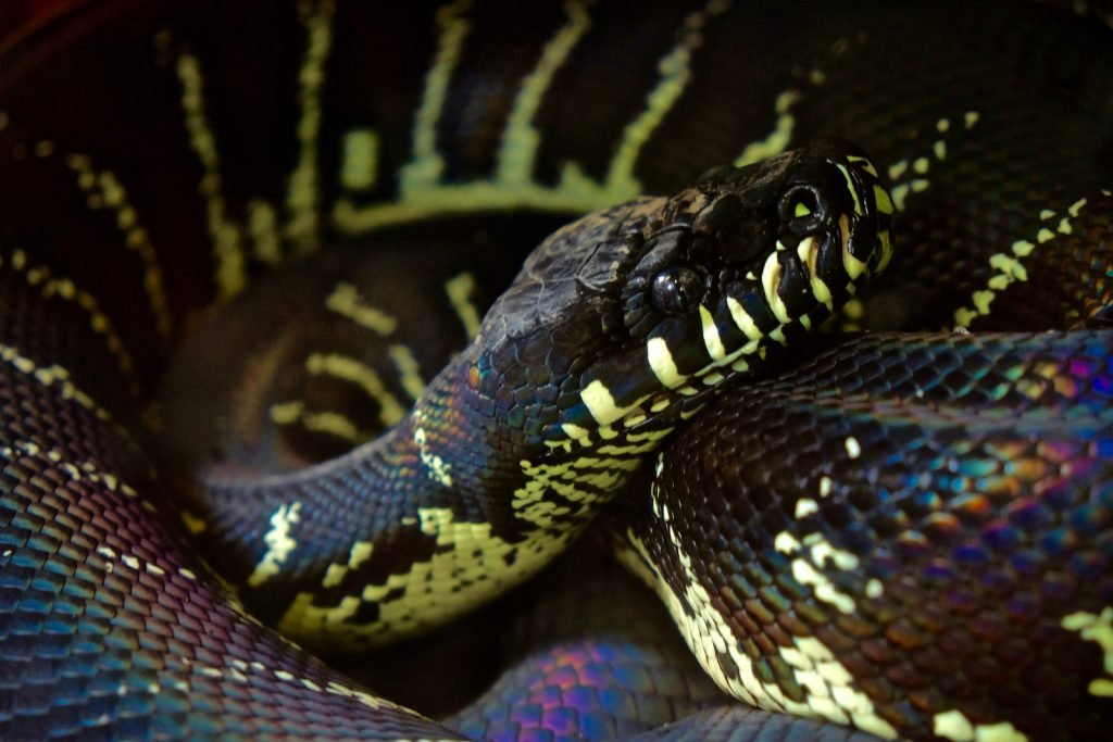 Boelen's python, also called the black python, is extremely secretive and hard to find in the wild.