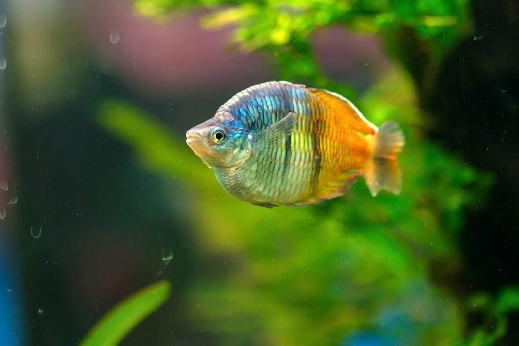 The Boeseman's Rainbowfish is endangered in the wild.