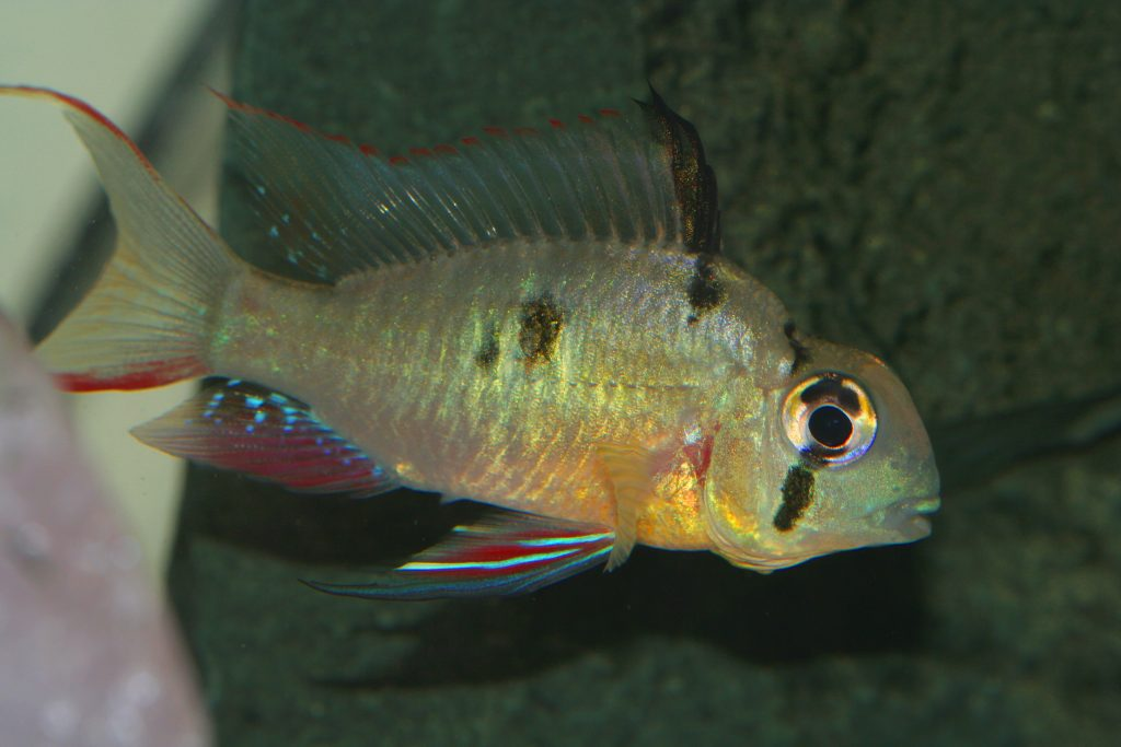 The Bolivian Ram is one of the most brightly colored freshwater fish out there.