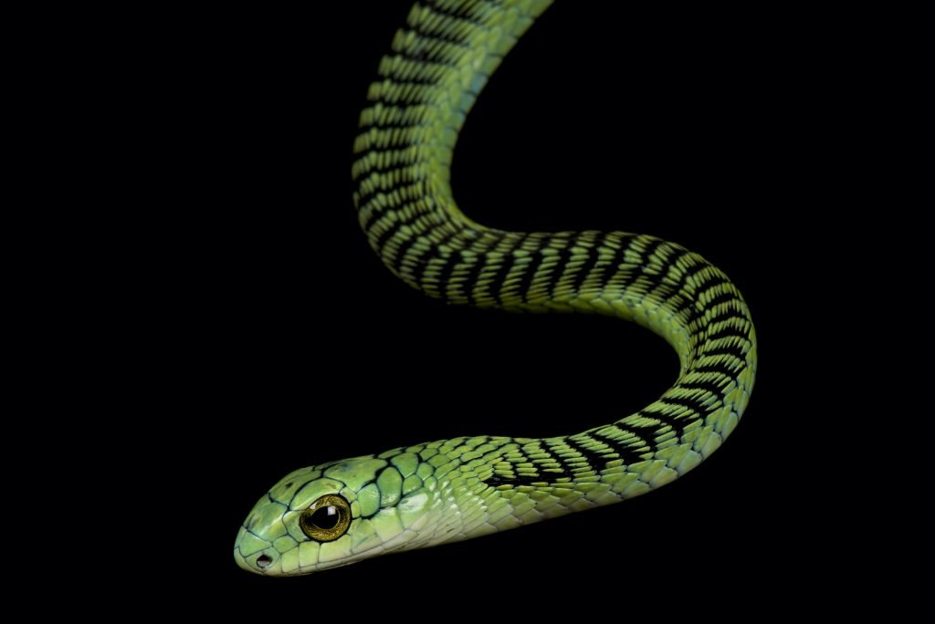 The Boomslang is a combination of the words
