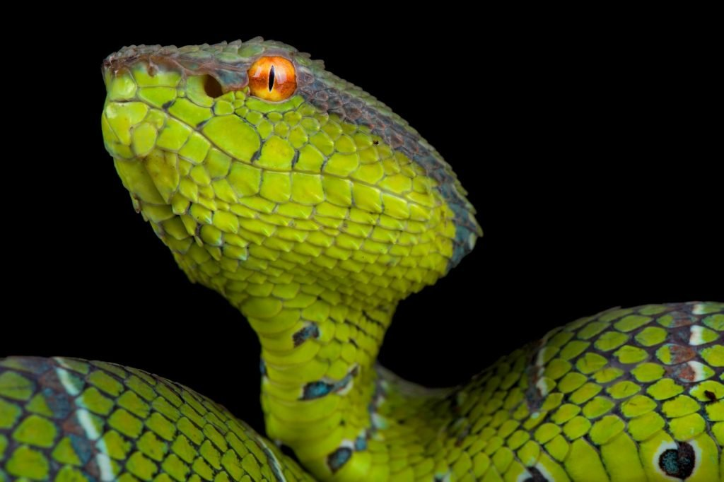 The Bornean keeled pit viper is among the most beautiful vipers.