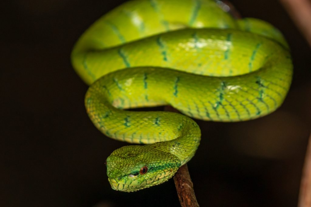 Some of the most beautiful snakes in the world are native to very small areas, and the Bornean pit viper is one of them.