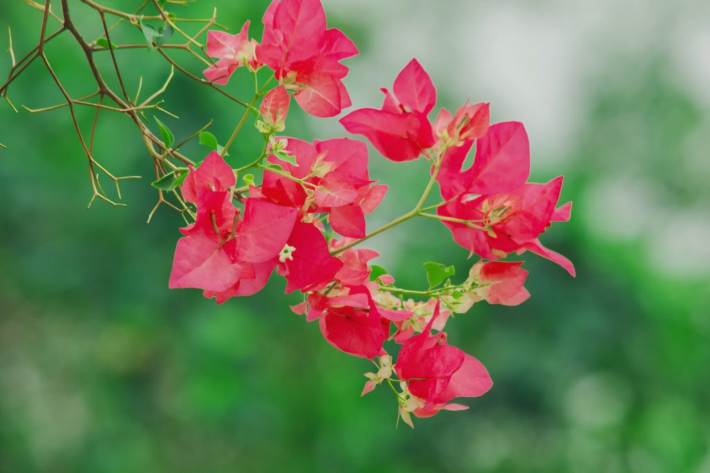 The bougainvillea plant does very well in warm environments where frost is rare.