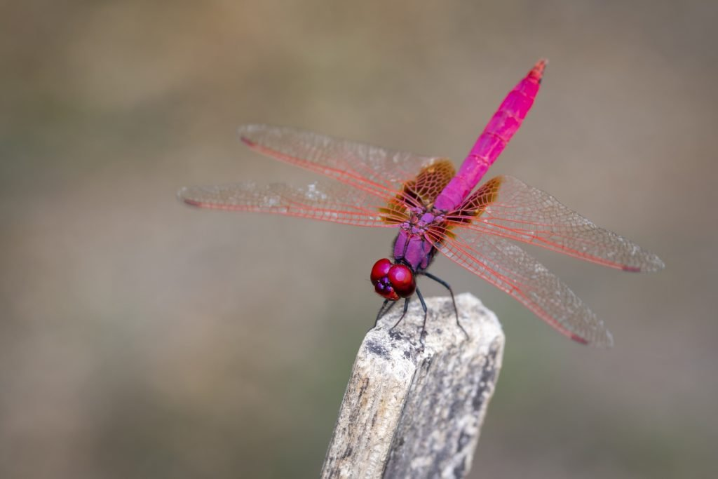 Bright pink dragonfly on top of wooden stick
